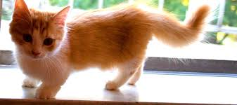 munchkins cats munchkin cats learn why they are so