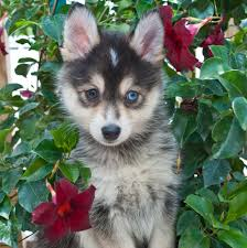 Non Shedding Large Dogs by 7 Things You Need To Know Before Buying A Pomsky Animalso