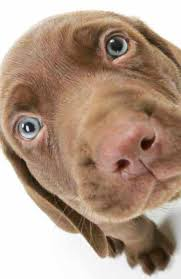 Chesapeake Bay Retriever Shed Hunting by Unique Dog Names Unusual Puppy Names For Your Boy Chocolate