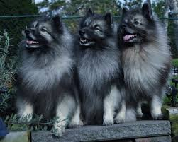 Non Shedding Dog Breeds Kid Friendly by Everything About Your Keeshond Luv My Dogs