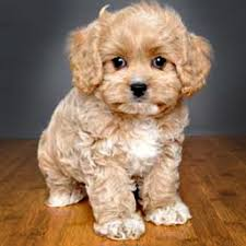 do cavapoos shed a lot the cavapoo cavalier king charles spaniel x poodle