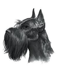 Do Giant Schnauzer Dogs Shed Hair by Giant Schnauzer Dog Dog Drawings And Pictures Pinterest