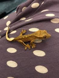 Crested Gecko Shedding Info by Baby Crested Geckos For Sale In Cheshunt Hertfordshire Gumtree