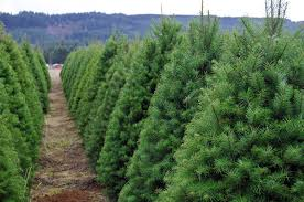 42 Lovely Popular Christmas Trees Types