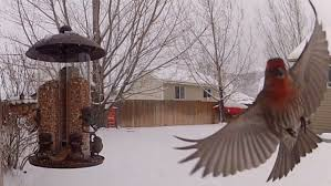 Backyard Birding In Utah. - YouTube Cdc Links Salmonella Outbreaks To Backyard Poultry How Avoid Utah Birders Birding Blog Birds Bird Choose The Best Birdseed For Your Backyard Is Fun Downy Woodpecker A Study March 2011 Birds Ecological Society Of America World Sanctuary The In My Top 10 Foods Winter Feeding Watchers Digest Arctic Tern With Young Saw These Nesting Rose Park Area Ii Songbirds Woodpeckers Ground Feeding Squirrels Archives Wild About