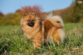 Small Dogs That Dont Shed Hair by German Spitz Dog Breed Information Buying Advice Photos And