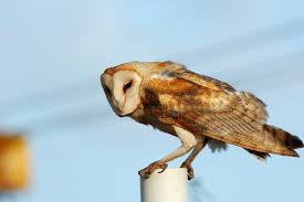 Barn Owl This Galapagos Barn Owl Lives With Its Mate On A Shelf In The Baby Barn Owl Owls Pinterest Bird And Animal Magic Tito Alba Sitting On Stone Fence In Forest Barnowl Real Owls Echte Uilen Wikipedia Secret Kingdom Young Tyto Roost Stock Photo 206862550 Shutterstock 415 Best Birds Mostly Uk Images Feather Nature By Annette Mckinnnon 63 2 30 Bird Great Grey