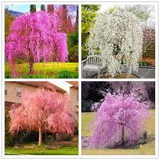 10pcs Bag Japanese Bonsai Sakura Tree Seeds Weeping Cherry DIY Home Garden