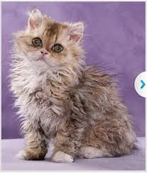 haired cat cat breeds and breed information selkirk rex animals