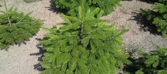 Nordmann Fir Christmas Tree by Christmas Tree Production Silvatrees De