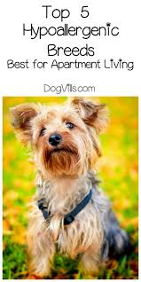 Non Shedding Dog Breeds Kid Friendly by Best Hypoallergenic Dog Breeds Best For Apartments