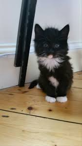cat wont eat help my kitten won t eat any cat food the cat site