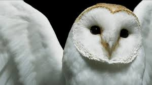 Barn Owl Full HD Wallpaper And Background | 1920x1080 | ID:161575 Barn Owl United Kingdom Eurasian Eagleowl Wallpaper Studio 10 Tens Of Barn Owl Wallpapers And Backgrounds Pictures 72 Images By Faezza On Deviantart Bird Falconry One Animal Closeup Free Image Snowy Hd 78 Sits Pole Wooden Dove Birds Images Hd 169 High Wallpaper 1680x1050 11554 Free Backgrounds At Wildlife Monodomo 2 One Online 4k Desktop For Ultra Tv Wide