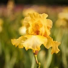 reblooming bearded iris harvest of memories bulbs fragrant