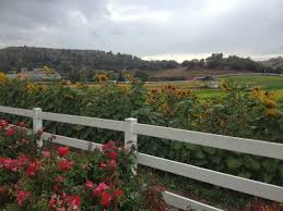 Pumpkin Patch Cal Poly Pomona by Experiencing Los Angeles On Campus And On The Farm At Cal Poly Pomona