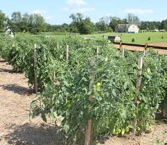 Staking Allows For Good Growth And Easy Picking Weeding