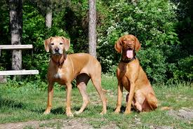 Vizsla Dog Breed Shedding by What Are Some Similar Dog Breeds To A Rhodesian Ridgeback
