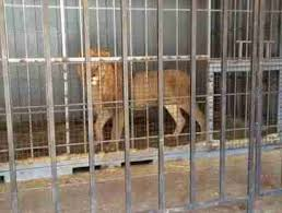 Lion Wasting Away In Shipping Crate Takes First Steps On Soft Grass