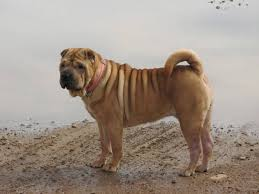 Do Shar Peis Shed A Lot by Dogs For Lazy People Laidback Dog Breeds