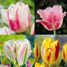 tulip collection buy order now