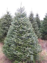 Christmas Trees Types by Types Of Christmas Trees Holidappy