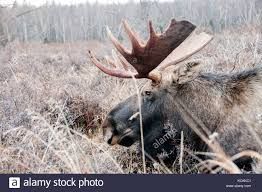 Moose Shed Antler Forums by Moose Head Stock Photos U0026 Moose Head Stock Images Alamy