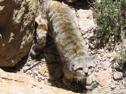 mountain cat andean mountain cat argentina whitley fund for nature