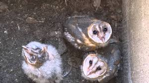 Three Cute Barn Owl Owlets Getting Raised In Kodambakkam Chennai ... Chris Eastern Screech Owl Nest Box Cam For 2001 Three Cute Barn Owlets Getting Raised In Kodbakkam Chennai 077bojpg Needle Felted Owlet Baby Outdoor Alabama Escapes And Photography Owls Owlets At Charlecote Park Robin Loznak Barn Owls Oregon Overheated Chicks Rescued Hungry Project 132567 2568 2569 2570 The Wildlife Center Wallpaper Archives Trust Young Thrive On Harewood Estate House By Michael A Eccles