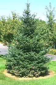 Frasier Christmas Tree Cutting by Fraser Fir Christmas Trees In Peacthree City Area Lovell Tree Farm