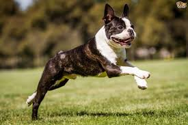 Dogs That Shed Minimally by Boston Terrier Dog Breed Information Buying Advice Photos And