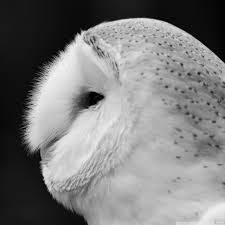 Photo Collection Barn Owl Galaxy Wallpaper Black Barn Owl Oc Eclipse By Pkhound On Deviantart Closeup Of A Stock Photo 513118776 Istock Birds Of The World Owls This Galapagos Barn Owl Lives With Its Mate A Shelf In The Started Black Paper Today Ref Paul Isolated On Night Stock Photo 296043887 Shutterstock Stu232 Flickr Bird 6961704 Moonlit Buttercups Moth Necklace Background Image 57132270 Sd Falconry Mod Eye Moody