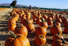 Faulkner County Pumpkin Patch by 2017 Santa Paula Rotary Pumpkin Patch At Limoneira Ranch U2014 Conejo