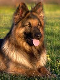 Big Dogs That Dont Shed Badly by German Shepherd Rottweiler Mix Breed Facts Information