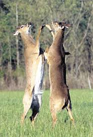 deer dynamics casting and hierarchy mississippi sportsman