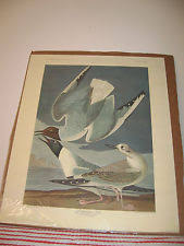Vintage Audubon Bonapartian Gull Print Havell CCCXXIV No 65 Hoffmann La Rouche