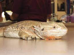 Bearded Dragon Shedding A Lot by Atadenovirus This Disease Can Be Deadly To Your Bearded Dragon