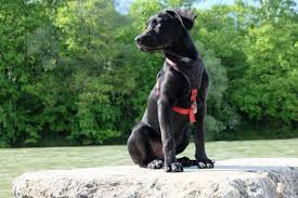 Guard Dogs That Dont Shed by Muscle Spasms In Dogs Canna Pet