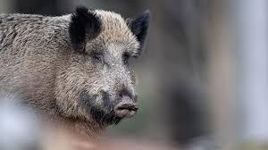 nonnweiler terrassentür stand offen wildschwein greift