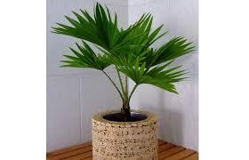 plantes vertes d interieur plante d intérieur qui ressemble a un palmier photos de