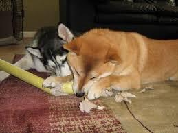 shiba inu vs siberian husky which is better