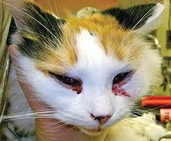 clindamycin for cats feline rhinitis respiratory disease today s veterinary