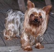 Non Shedding Dogs Small To Medium by 5 Of The Best Apartment Dogs That Are Hypoallergenic Waycooldogs Com