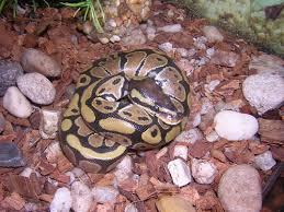 reptile city ball python fdr s babies