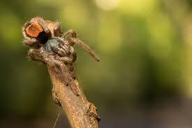 Do Tarantulas Shed Their Legs by Tarantula Spiderbytes