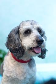30 Dog Breeds That Shed The Most by Schnoodle Dog Breed Information Pictures Characteristics U0026 Facts