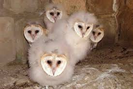 Tyto Alba/ Pollets D'Òliba/ Pollitos De Lechuza/ Barn Owl Chicks ... Barn Owl Focus On Cservation Best 25 Baby Ideas On Pinterest Beautiful Owls Barn Steal The Show As Day Turns To Night At Heartwood Family Ties Owl Chicks Let Their Hungry Siblings Eat First The Perch Uncommon Banchi Baby Coastal Home Giftware From Horizon Stock Image Image Of Small Young Looking 3249391 You Know Birdnote Banding By Alex Lamoreaux Nemesis Bird