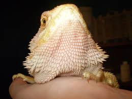 Bearded Dragon Shedding In Patches by Pink Red Beard U2022 Bearded Dragon Org