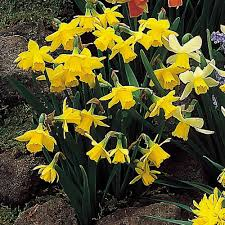 miniature daffodils tete a tete 25 bulbs or buy in bulk