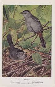 Vintage Audubon Bird Print 1925 Catbird By Uglytown On Etsy