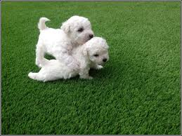 All Dog Breeds That Dont Shed by 100 Cute Dogs Dont Shed Feathers Fur U0026 The Occasional